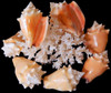 Haitian Fighting Conch Shells (Case Pack 24)