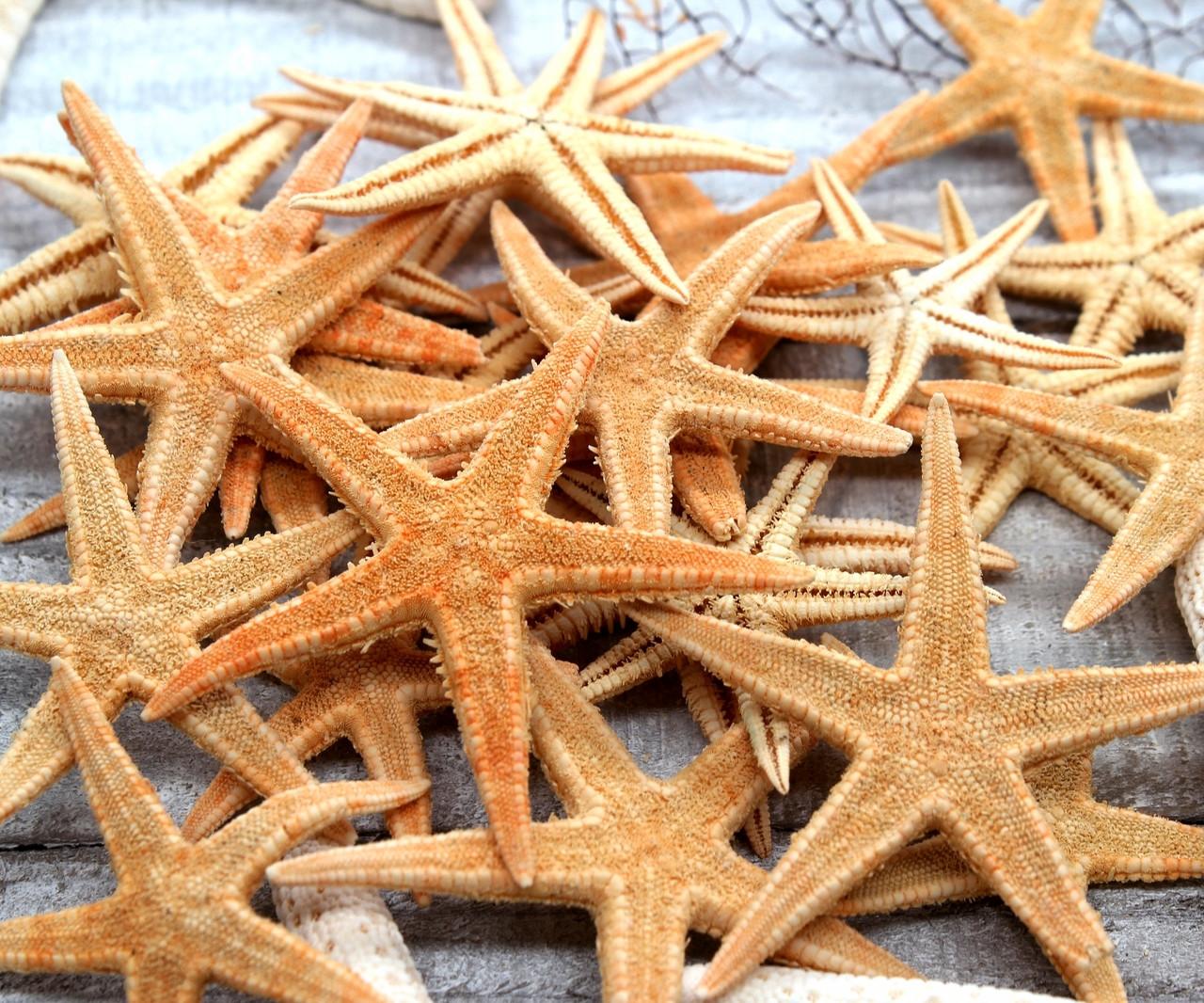"""50 LOT OF 3 1//2/"""" DRIED FLAT TAN STARFISH CRAFT STAR FISH"""