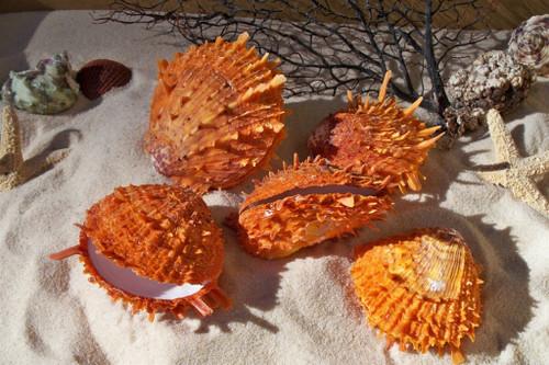 Spondylus Ducalis Oyster shells priced each
