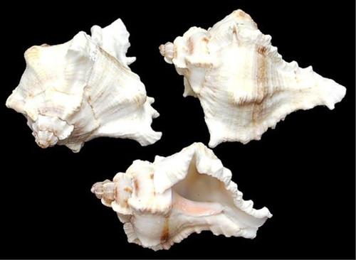 "Murex Virqenues shells Approx 2""-3 1/2"" Sold Each"