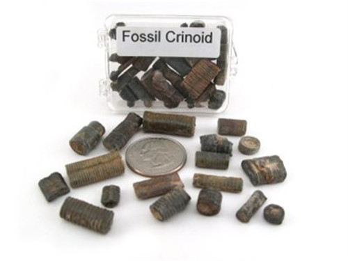 Boxed Fossil Stem Crinoids