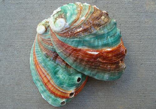 Rare Kamcha Abalone Shells Russian Abalone