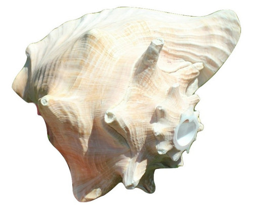 "Conch Shell Horn Shell 8""-9"" Pink Queen Conch Shell Horn"