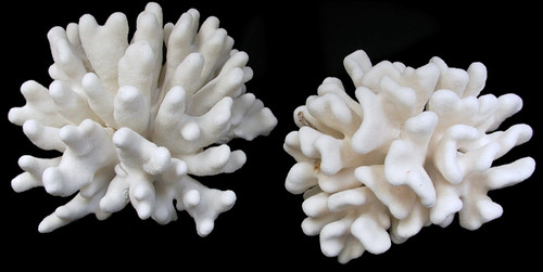 "Elk Horn Coral 5""- 7"" collected from shipping canals not ocean"