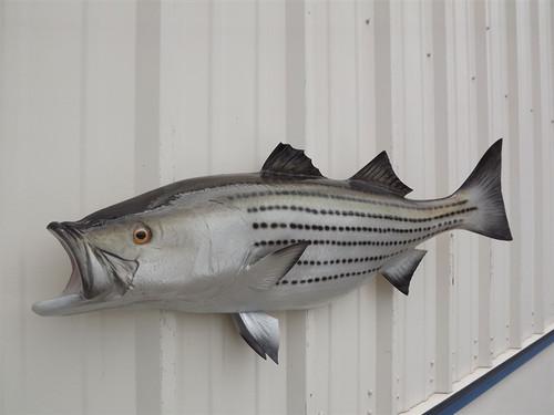 """Striped Bass Half Mount Fish Replica 43"""" Beach Decor"""