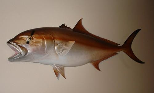Amberjack Half Mount Fish Replica