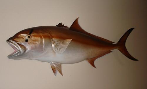 Amberjack Half Mount Fish Replica