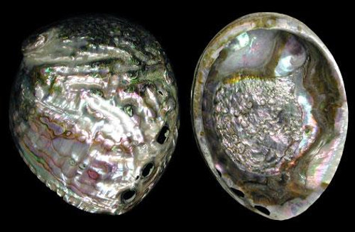 "Polished Pearl Green Abalone Shells 5""-6"""