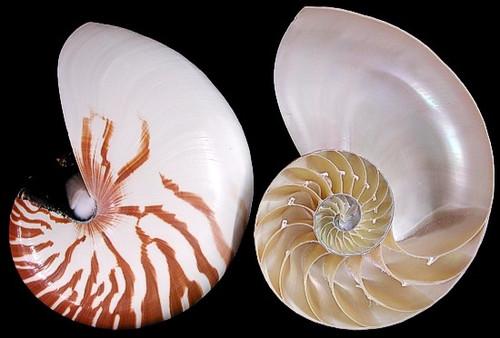 Natural Nautilus Pair Center Cut Shells