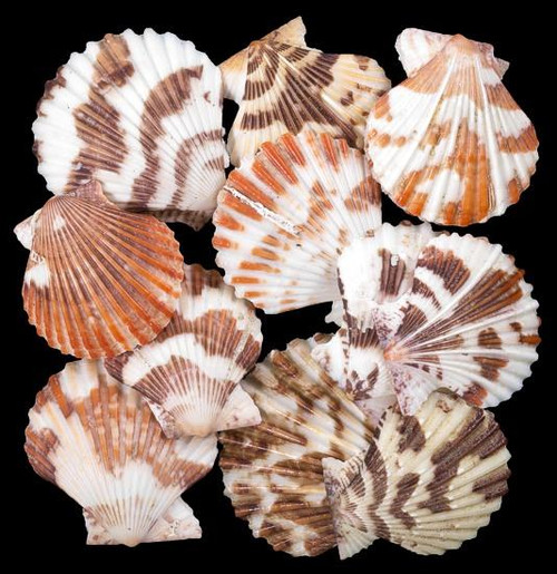 Pectin Tranquebaricus Seashells (Case Pack 50) Beach Decor