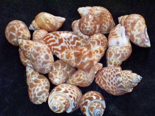Babylonia Japonica Seashells 10 pcs