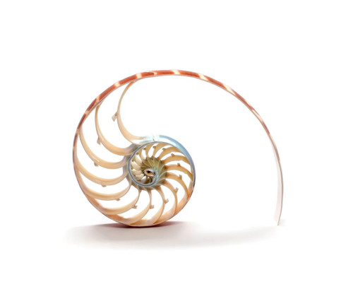 "Natural Nautilus Shell Center Cut 5""-6"" Free Shipping"