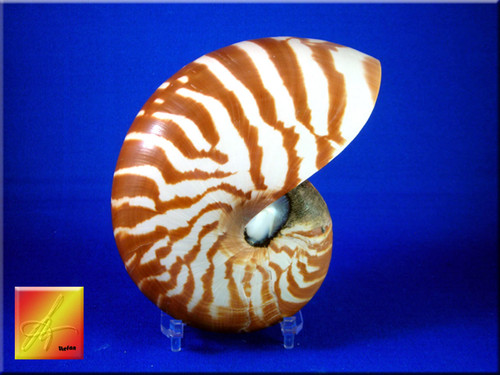 "Nautilus Half Cut Seashell 5""crafters favorite"