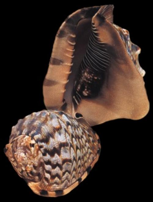 """Genuine King Helmet Seashells 6""""-7"""" Free Shipping"""