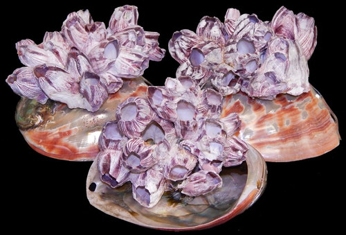 "Natural Barnacle Shell Clusters 3-5"" Priced Each"
