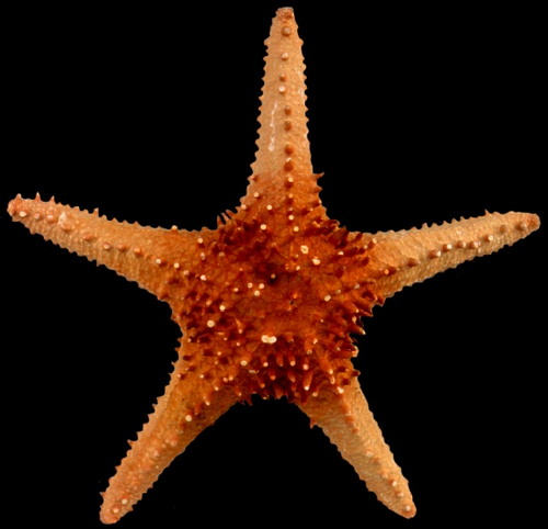 "Giant Horned Starfish 10""-11"" Free Shipping"