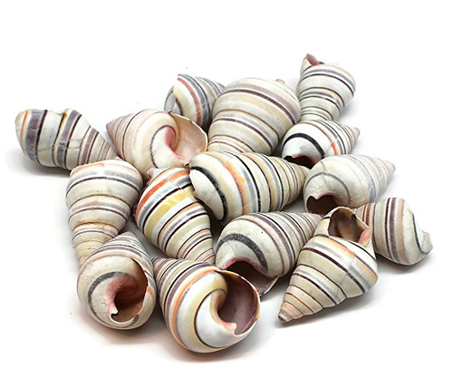 10 Striped Haitian Tree Snail Colorful Shells