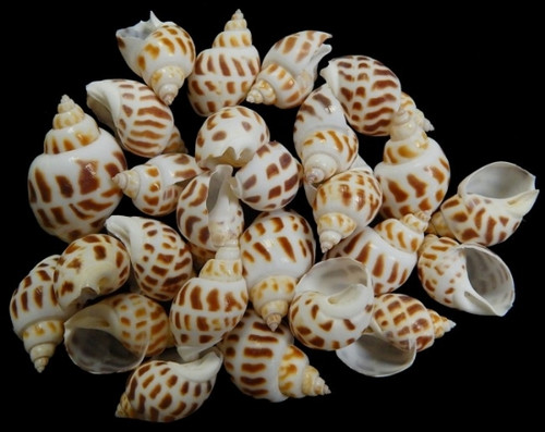 12 Babylonia Areolata Shells - Nautical Spotted Shells