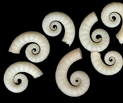 Spirula Spirula Shells (Case pack 10)