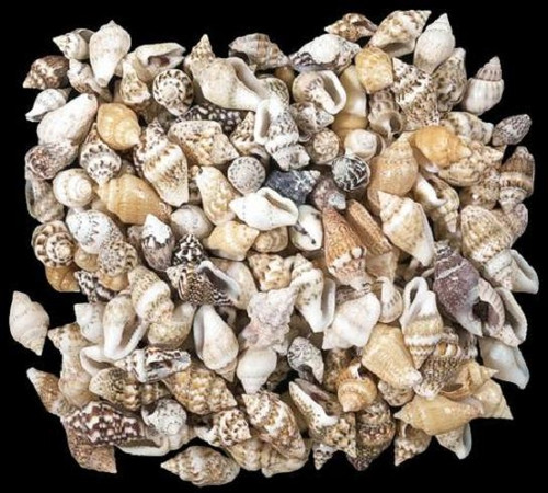 Mixed Nassa Seashells 300 hundreds of shells