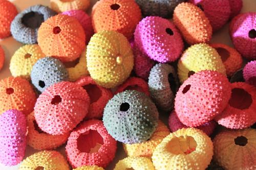 Multi Color Sea Urchins Case pack 12