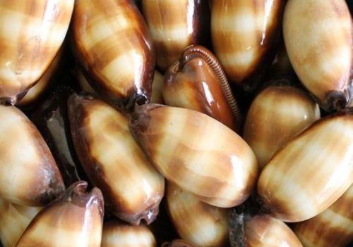 "Rare Cypraea Talpa Seashell 2""-3"" Mole Cowry Sold Each"