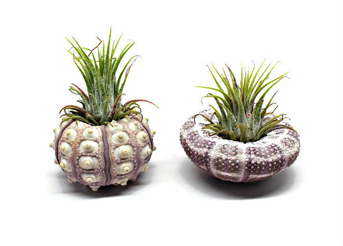 Urchin Air Plant Assortment | 2 Varieties of Sea Urchins with Tillandsia Gift Set
