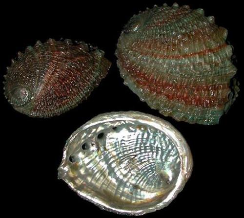 Rainbow abalone(Ruff back)
