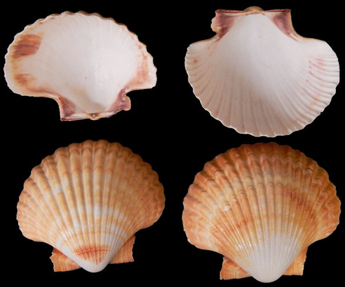 Mexican Deep Sea Shell Beach Craft Scallop - Bulk Shells - Wholesale Shells - Craft Shells