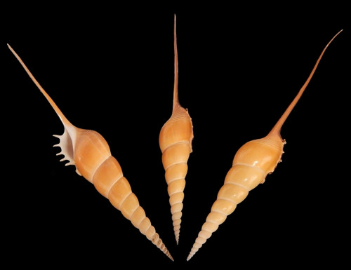 "Tibia Fusus Decorative Shell 7-8"" Rare Seashell Free shipping"