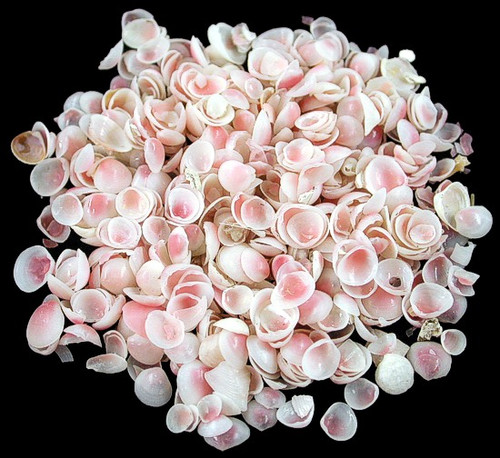 Apple Blossom Shells measuring less than 1/4 inch Free Shipping