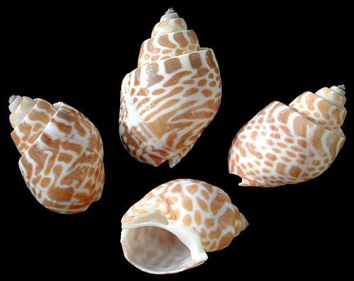 "Babylonia Spirata shells 1-2"" Qty 6 Free Shipping"