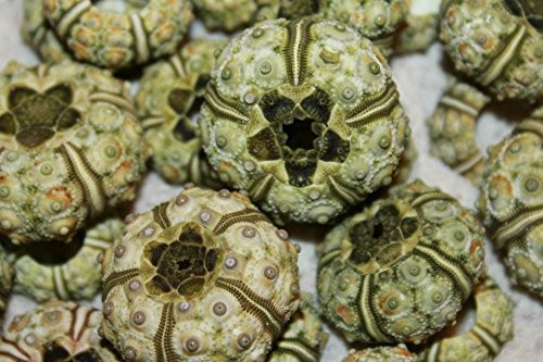 Phyllacanthus Imperialis Green Sputnik Sea Urchin (Case Pack 6)