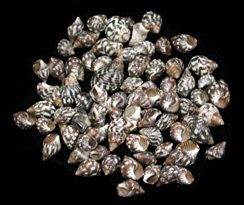 Planaxis Shells (Case Pack 50) Craft Seashells Free Shipping