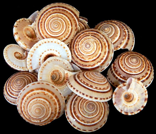 Sundial Shells (Case Pack 6) Craft Collector Seashells Free shipping