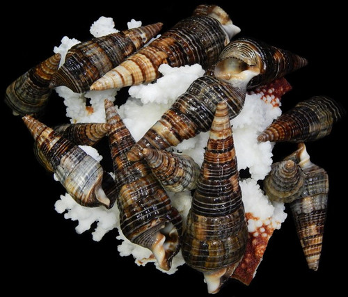 "1 Kilo Black Mitra Shells 2 -4"" Free Shipping 2.2 pounds"