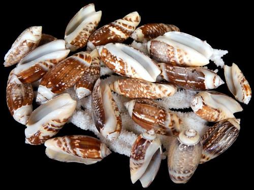 "1 Gallon Olive Gibbosa Shells 1-2"" Free Shipping"