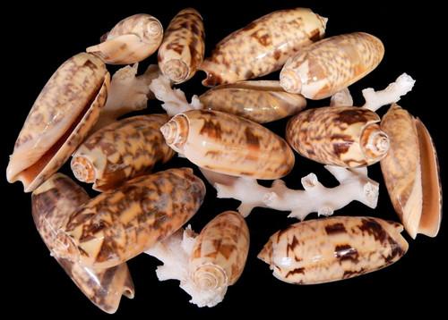 "1 Gallon Gold Olive Gibbosa Shells 2-3"" Free Shipping"