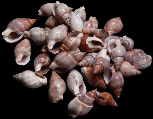 "1 Gallon Brown Marginellas Shells 3/4-1"" Free Shipping Wholesale Shells"
