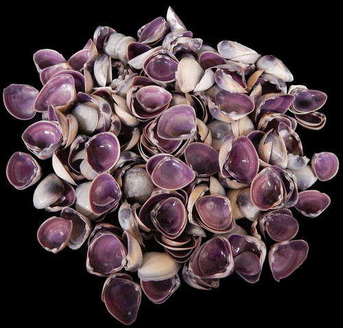 "1 Gallon Purple Baby Clam Shells 3/4-1"" Free Shipping Wholesale Shells"