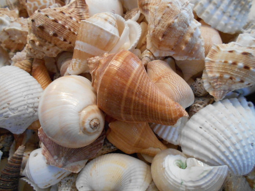 1 lb Large Indian Ocean Shell Mix Seashells Nautical Beach Crafts