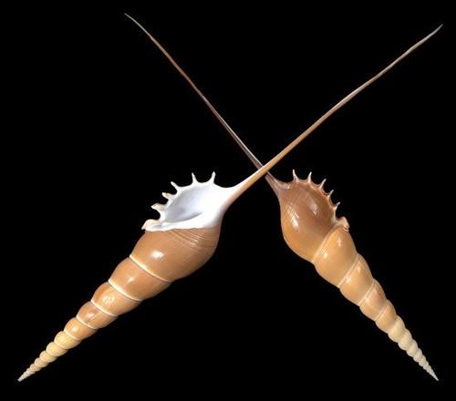 "Tibia Fusus Decorative Shell 5-7"" Rare Seashell Free shipping"