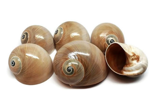 6 Turbo Shark Eye Shells Great for Hermit Crabs