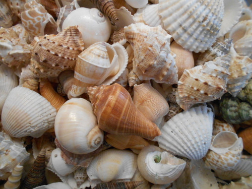 "1 lb (One Quart) Genuine Large Size Indian Ocean Mix Shells about 1"" - 3"" size"