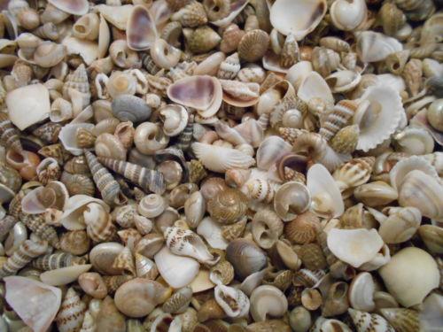 """400 Tiny Indian Ocean Micro Shells 1/4"""" - 5/8"""" Craft shells"""