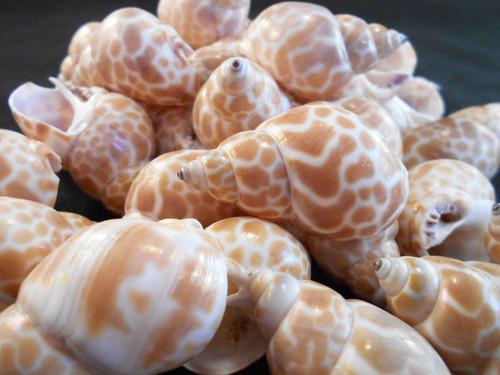 """Set of 12  Japanese Babylon Shells  (babylonia japonica)  Size range: 1 1/2"""" 2""""  (38 - 50 mm)  Opening size range: 3/4"""" - 1"""""""