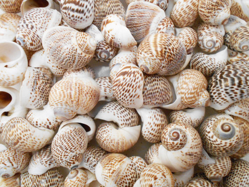 "12 Striped Nautica Tigrina Shells 3/4""-1"" (20-25mm) Hermit Crabs"