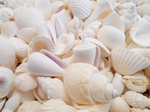 "BULK 4 lbs (about 1 Gallon)  Genuine Medium Size White Wedding Shells  about 1""- 1 1/2"" size     Great for Nautical Beach Decorations, Aquarium  and Shell Crafting. Perfect for Beach Themed Weddings."