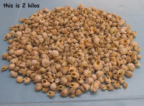 "Spurred turban shells wholesale hermit crab shells 3/4-1-1/2"" 1 kilo"