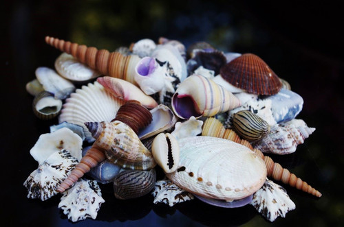 "Beach Mixed SeaShells (50-60 Shells) Shell Mix. These shells range from 1""-3"" shells will be similar to the ones pictured not exactly species of shells vary. Free Shipping"